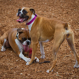 by Jim Jones - Animals - Dogs Playing ( boxer dog, dogs playing, dogs, dog park, dog portrait )