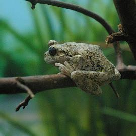 Tree Frog by Darrin Halstead - Animals Amphibians ( macro, tree frog, amphibian, close up, animal )