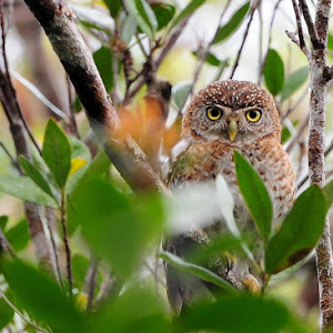 Cuban Pigmy Owl.jpg