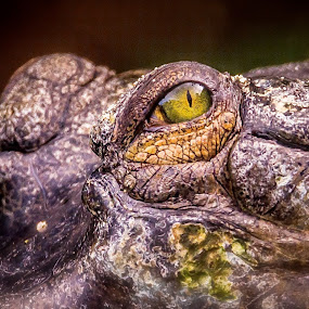 Eye Eye by Ken Nicol - Animals Other Mammals (  )