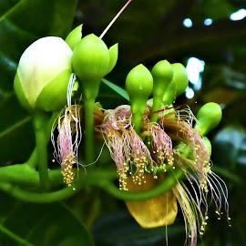 by Svetlana Saenkova - Flowers Flower Buds (  )