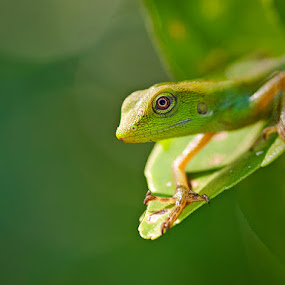 Shiny Cameleon by Prana Jagannatha - Animals Reptiles ( reptiles, wildlife )