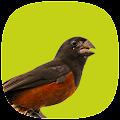 App Curió Campeão APK for Windows Phone