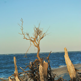 Driftwood by Prentiss Findlay - Landscapes Beaches ( driftwood, driftwood beach, erosion trees beach, beach erosion trees, beach erosion driftwood )