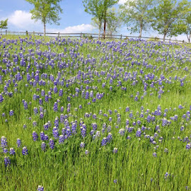 Field of Bluebonnets by Gaye Hyde - Landscapes Prairies, Meadows & Fields ( serenity, blue, mood, factory, charity, autism, light, awareness, lighting, bulbs, LIUB, april 2nd )