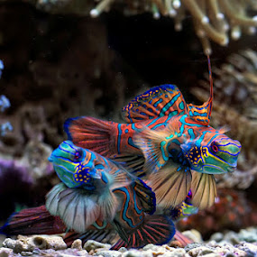 Mating fish , mandarin fish by Toni Panjaitan - Animals Fish ( icon, fish, mandarin fish, animal )