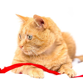 Lucky's red ribbon. by Susan Pretorius - Animals - Cats Portraits