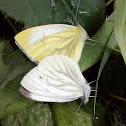 Small white / Репница