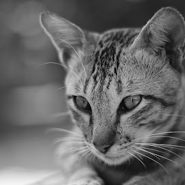 by Iwan Ramawan - Animals - Cats Portraits