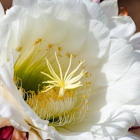Argentina Cactus Flower-16.jpg