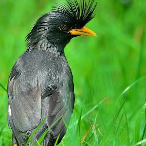 Grandis mynah by Francois Wolfaardt - Animals Birds ( mynah, bird, grandis, nature, grass, close-up, black )