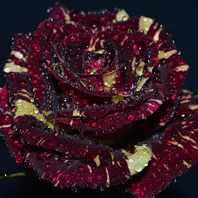 by David Lovingood - Nature Up Close Flowers - 2011-2013 ( rose, red, green, wet, yellow, waterdrops, misted )