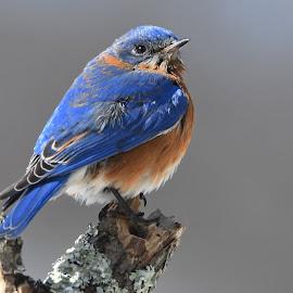 Bluer than blue by Steven Liffmann - Animals Birds