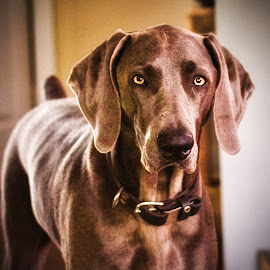 Luca by Jim Antonicello - Animals - Dogs Portraits ( weimaraner, dog )