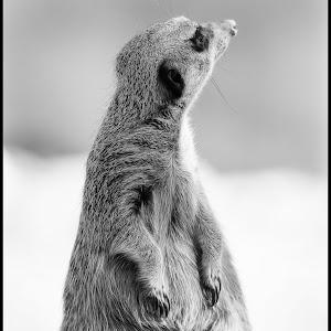 Meerkat-10.jpg