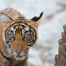 Tiger Cub by PC Meena - Animals Lions, Tigers & Big Cats