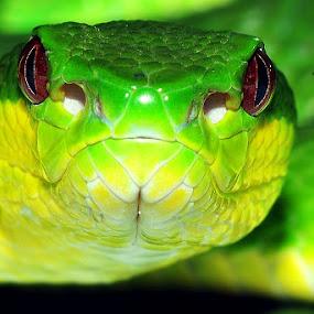 Grrrrrr!!!! by Kenang Lahar Jingga - Animals Reptiles