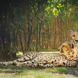 Tender Wilderness by Kristina Truluck - Animals Lions, Tigers & Big Cats ( big cat, cheetah, cat, busch gardens, fl, pair, florida, busch gardens tampa bay, tampa, feline )