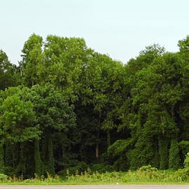 Kudzu Trees by Lorie  Carpenter  - Nature Up Close Trees & Bushes ( nature, green, trees, kudzu, covered )