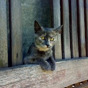 by Zeljko Secujski - Animals - Cats Portraits ( animals, cat, gray cat, sivka, hello kitty, kitty, pussy cat )