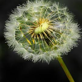 Aigrette de pissenlit by Gérard CHATENET - Nature Up Close Other plants