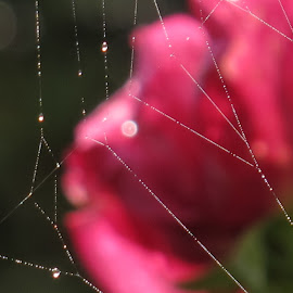 by Bozidarka Scerbe Haupt - Nature Up Close Webs ( rose, drops, light, spider web )