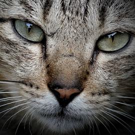 My Puspin by Gary Salcedo - Animals - Cats Portraits ( mammals, cats, tiger, wildlife, animal,  )