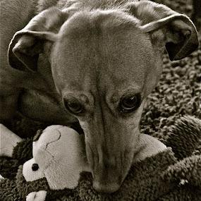My Toy by Denise Zimmerman - Animals - Dogs Portraits ( toy, dachshund, dog,  )