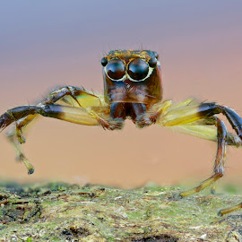 Jumping Spider by Sergio Frada - Animals Insects & Spiders