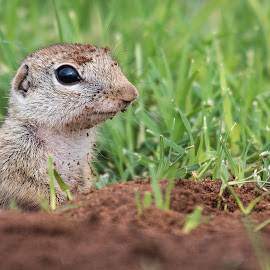 by Steven Aicinena - Animals Other Mammals (  )