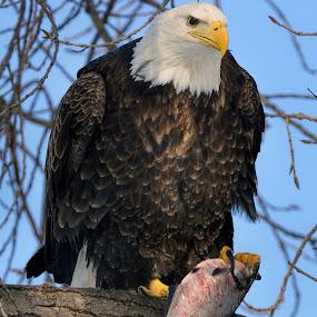 What's for dinner? by Peter Stratmoen - Animals Birds ( winter, outdoor photography, bald eagle, wildlife, nikon, birds,  )