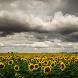 sun is down! by Lupu Radu - Landscapes Cloud Formations ( field, clouds, dobrogea, sunflower, flowers, storm )