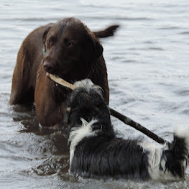 by Beverly Lee - Animals - Dogs Playing