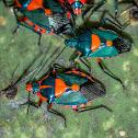Florida Predatory Stink Bug