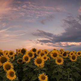 The sunflowers...! by Dimitar Balyamski - Landscapes Prairies, Meadows & Fields