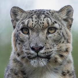 Snow Leopard portrait by Fiona Etkin - Animals Lions, Tigers & Big Cats ( feline, nature, mammal, snow leopard, animal, big cat, spotted )