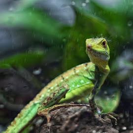 Green planet lizard 2 by Mauritz Janeke - Animals Reptiles ( lizard, uae, mauritz, reptile, rain, wet lizard )