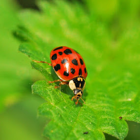 ladybug by Jade Bracke - Animals Insects & Spiders ( red, ladybug, photography, black, animal,  )