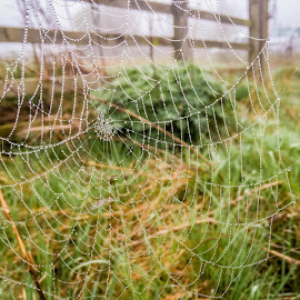Dew On The Web by Darrell Evans - Nature Up Close Webs ( water, dew, drops, wildlife, beads, spider, web, waterdrops, spiders web )