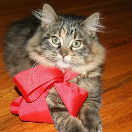 Red bow by Shannon Bucher - Animals - Cats Kittens ( #kittens #pets #rescues )
