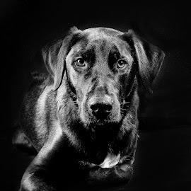 Blacky by Marleen Van de Velde - Animals - Dogs Portraits ( studio, portret, black and withe, dog )