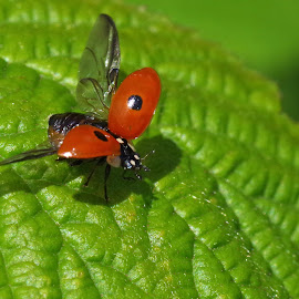 2 spot ladybird by Dave Fitzgerald - Uncategorized All Uncategorized