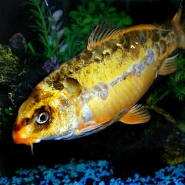 koi by Janna Morrison - Animals Fish