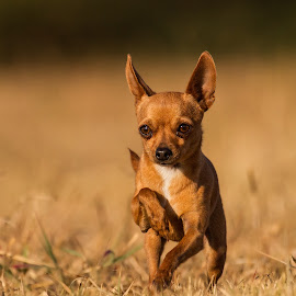by Francois Loubser - Animals - Dogs Portraits