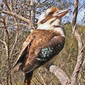 Laughter by Kamila Romanowska - Instagram & Mobile Other ( bird, nature, australia, wildlife, sydney )