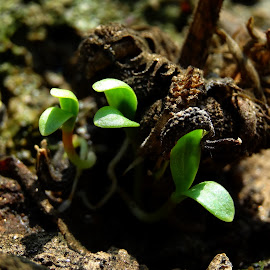 The begening  by Umesh Halder - Nature Up Close Gardens & Produce ( nature, sprouting )