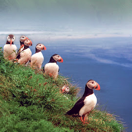Puffins by Stanley P. - Animals Birds ( birds )
