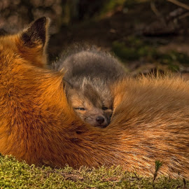 Fox Kit Resting by Steve Dunsford - Animals Other Mammals ( fox, canada, ontario parks, wildlife photography, wildlife, ontario, forest, mammal, portrait, red fox, nature, algonquin, outdoor, nature photography, algonquin park, animal )