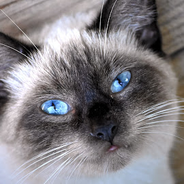 Aurora's Eyes by Terry Niec - Animals - Cats Portraits ( cat, sealpoint, blue eyes, portrait )