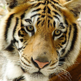 Tiger Face by Mw C - Animals Other Mammals
